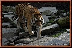Tigre de Sibérie - tigredesiberie16