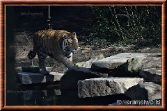 Tigre de Sibérie - tigredesiberie17