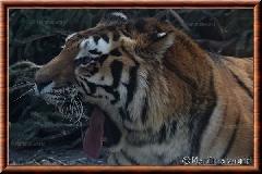Tigre de Sibérie - tigredesiberie18