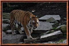 Tigre de Sibérie - tigredesiberie19