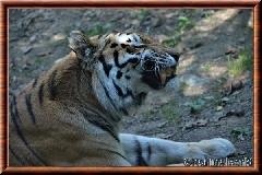 Tigre de Sibérie - tigredesiberie20