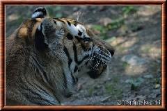 Tigre de Sibérie - tigredesiberie21