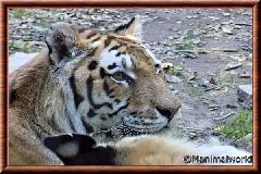 Tigre de Sibérie - tigredesiberie22