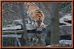 Tigre de Sibérie - tigredesiberie24