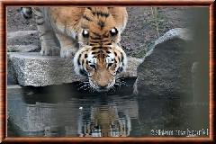 Tigre de Sibérie - tigredesiberie25