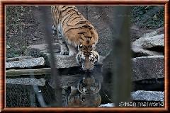 Tigre de Sibérie - tigredesiberie26