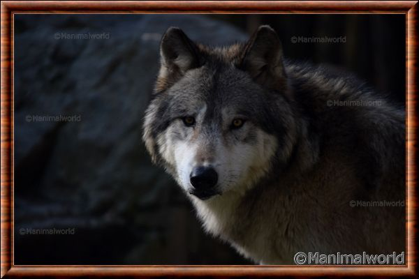 Loup gris 01