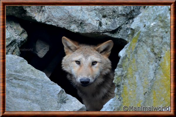 Loup gris 17