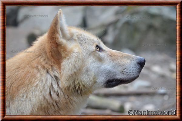 Loup gris 10