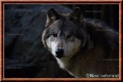 Album Loup gris