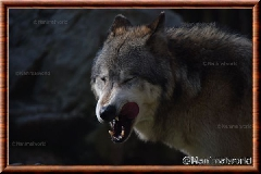 Loup gris - loupgris3