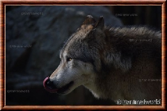 Loup gris - loupgris4