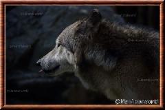 Loup gris - loupgris5
