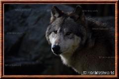 Loup gris - loupgris6
