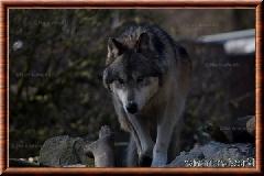 Loup gris - loupgris7
