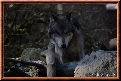 Loup gris - loupgris8
