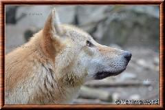 Loup gris - loupgris10