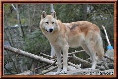 Loup gris - loupgris11