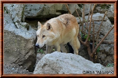 Loup gris - loupgris12