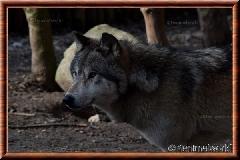 Loup gris - loupgris13