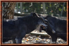 Loup gris - loupgris14