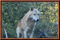 Loup gris - loupgris15