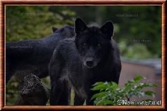 Loup gris - loupgris16