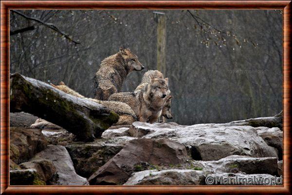 Loup gris commun 07