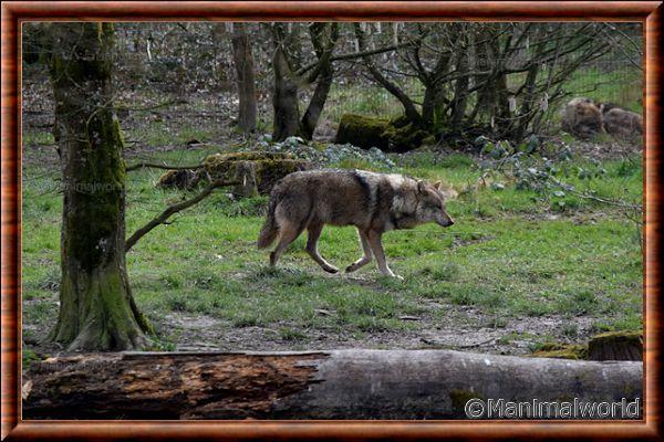 Loup gris commun 09