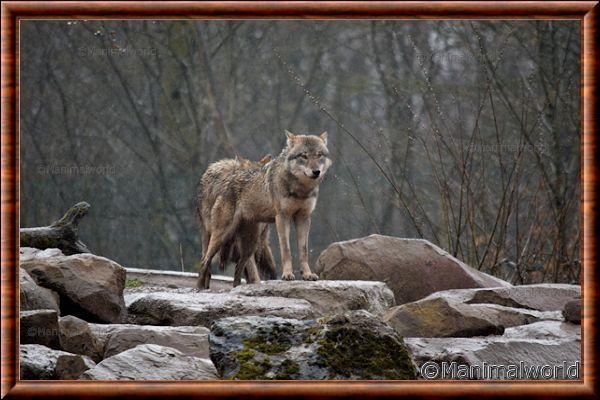 Loup gris commun 12