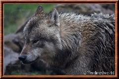 Loup gris commun - loupgriscommun6