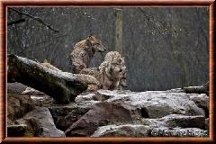 Loup gris commun - loupgriscommun7