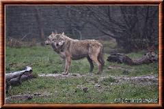 Loup gris commun - loupgriscommun8
