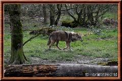 Loup gris commun - loupgriscommun9