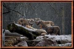 Loup gris commun - loupgriscommun10