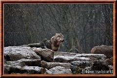 Loup gris commun - loupgriscommun11