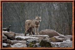 Loup gris commun - loupgriscommun12