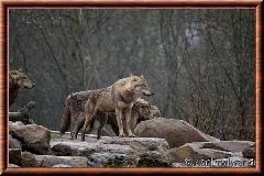 Loup gris commun - loupgriscommun13