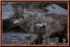 Loup gris commun - loupgriscommun21