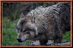 Loup gris commun - loupgriscommun14