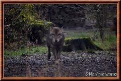 Loup gris commun - loupgriscommun15