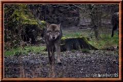 Loup gris commun - loupgriscommun16