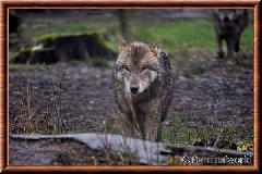 Loup gris commun - loupgriscommun17