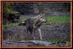 Loup gris commun - loupgriscommun18