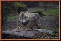 Loup gris commun - loupgriscommun19