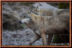 Loup gris commun - loupgriscommun20
