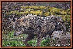 Loup gris commun - loupgriscommun22