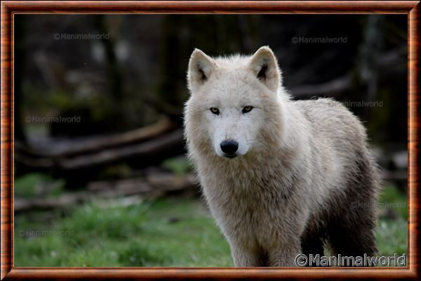 Loup arctique 01