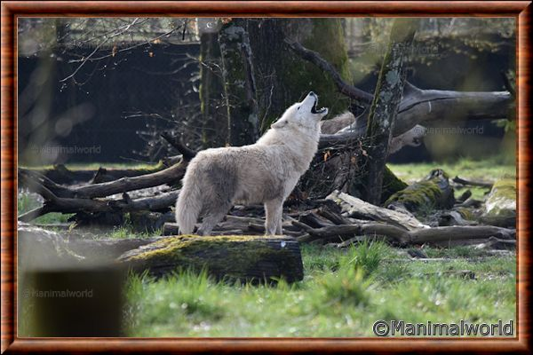 Loup arctique 02