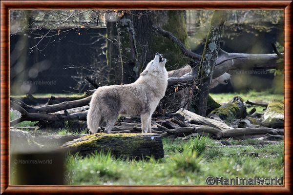 Loup arctique 03